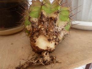 Заболевания кактусов
