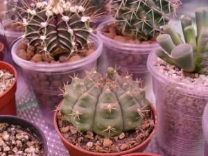 Зимовка кактусов