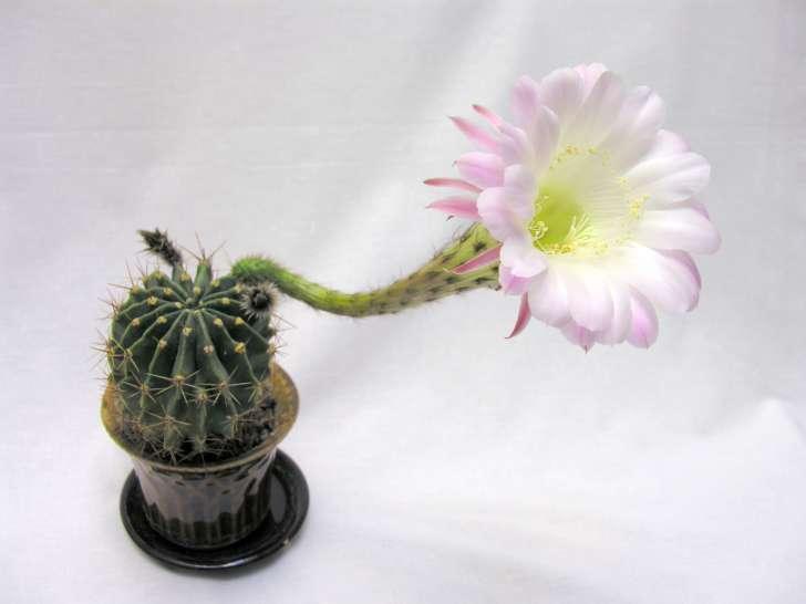 К чему кактусы цветут в домашних условиях