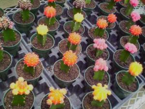 распространенные болезни и вредители кактусов