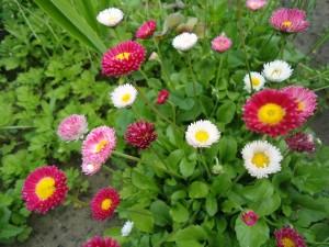 Маргаритка в саду и дома