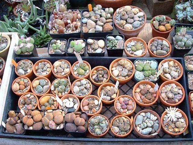 Как сажать семена суккулентов в домашних условиях 537