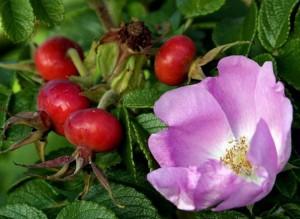 Роза и шиповник